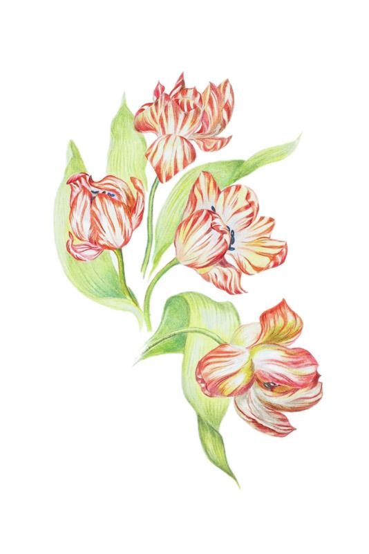 Four Tulips by Paula Kuitenbrouwer