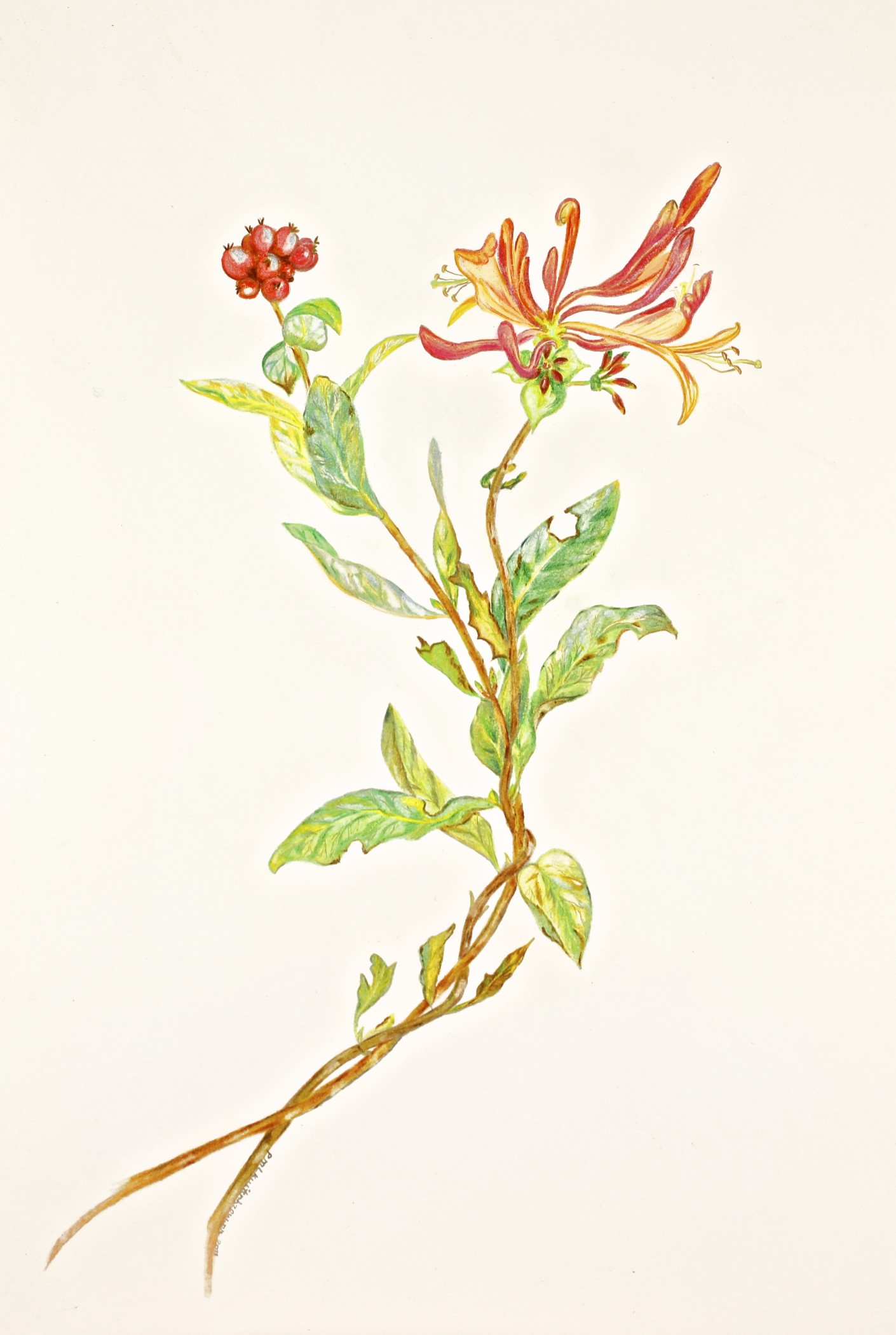 A Honeysuckle Mindful Drawing By Paula Kuitenbrouwer