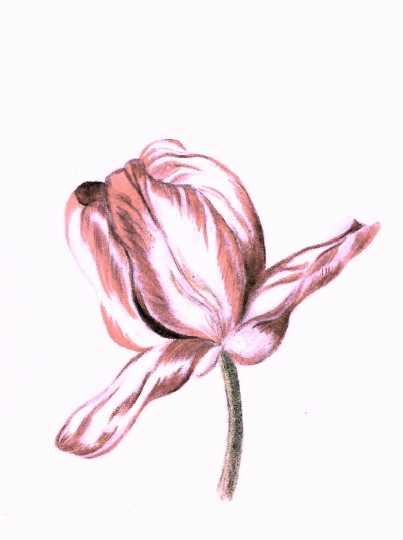 Roze Tulip