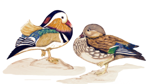 Mandarin Ducks by Paula Kuitenbrouwer