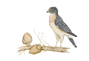 Sparrowhawk by Paula Kuitenbrouwer