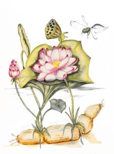 Lotusbloem met wortel
