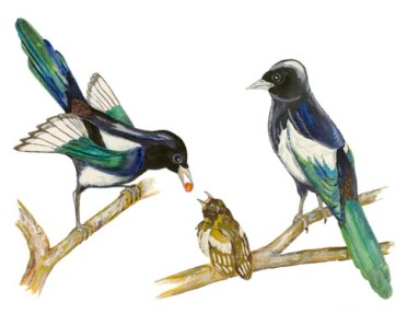 Magpies Family