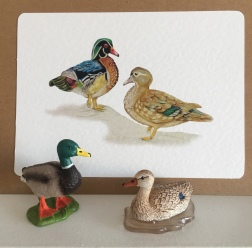 Wood ducks or Carolina Ducks Art Cards, by Paula Kuitenbrouwer