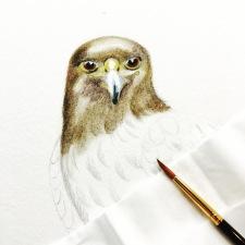 Harris Hawk by Paula Kuitenbrouwer